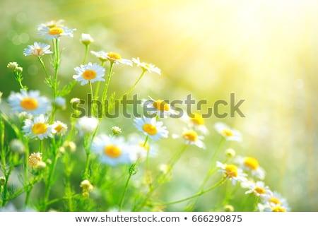 Domaine marguerites ciel feuille jardin été Photo stock © chrisroll