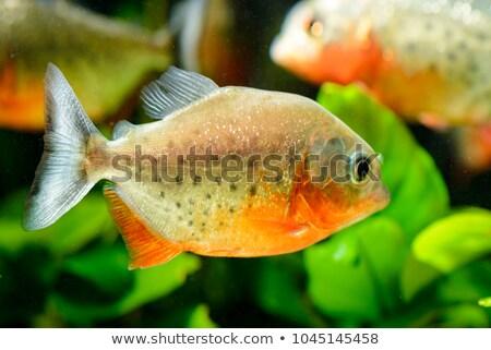 Vermelho piranha subaquático imagem peixe Foto stock © alexeys