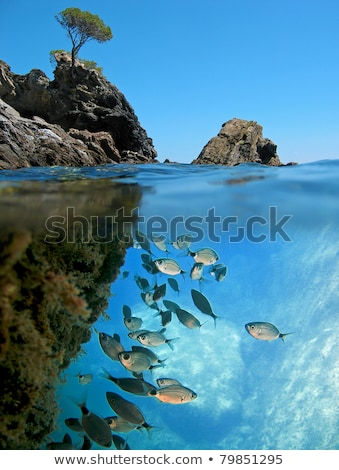 Saddled bream fish school underwater Stock photo © lunamarina