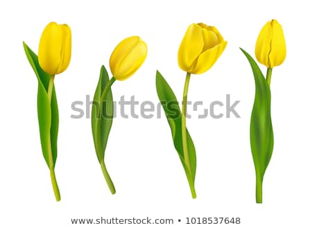 yellow tulips stock photo © dsmsoft