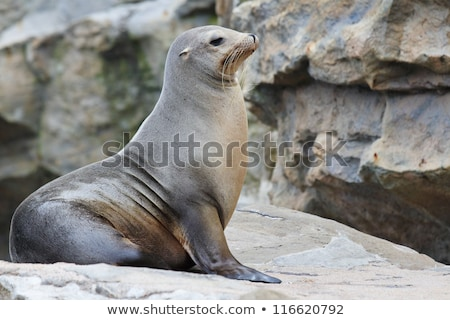 big mouth the sea lion Stock photo © njaj