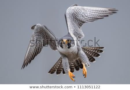 Falcon caccia piccione occhi faccia uccello Foto d'archivio © asturianu
