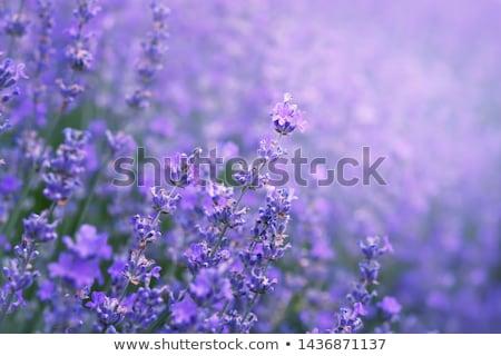 close up of bush plant Stock photo © mtkang