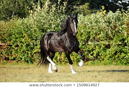 Shire horses Stock photo © Snapshot