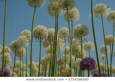 Allium flower against sky Stock photo © zzve