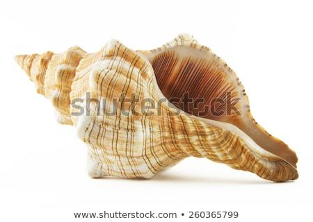 sea shells isolated on white background stock photo © kheat