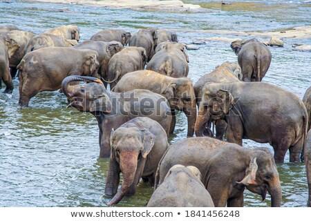 hugging elefants in the river Stock photo © meinzahn