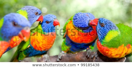 rainbow lorikeet   up close stock photo © leetorrens