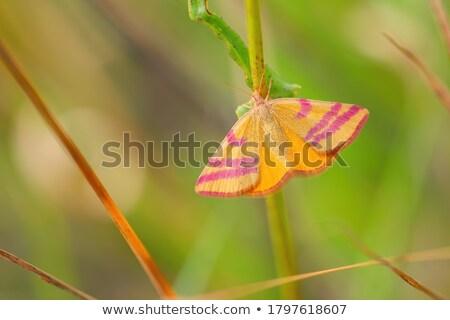 Yellow moth Stock photo © sweetcrisis