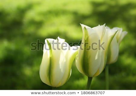 зеленый Tulip закрыто цветок лист цвета Сток-фото © wime