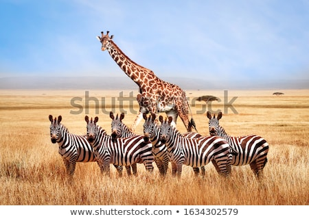 giraffe and zebra stock photo © dirkr