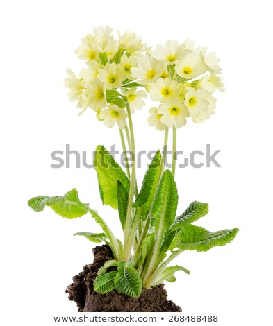 flor · neve · cedo · primavera · gelo · inverno - foto stock © peterhermesfurian