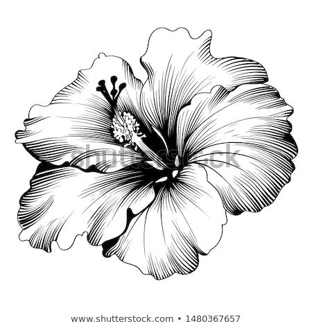 границе · красочный · гибискуса · цветы · розовый · свежие - Сток-фото © irisangel