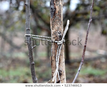 Young apple tree staked in an orchard Stock photo © sarahdoow