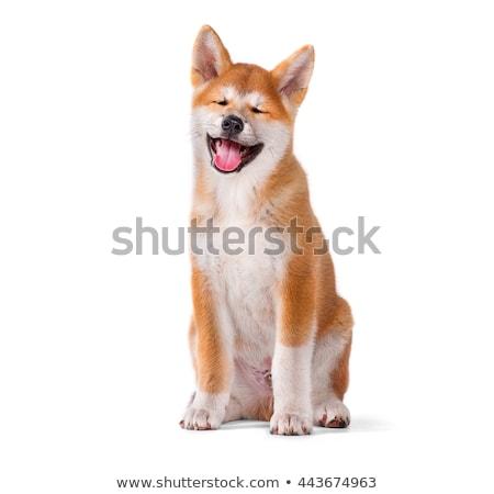 Three  Akita Inu puppy dog on white background Stock photo © simazoran