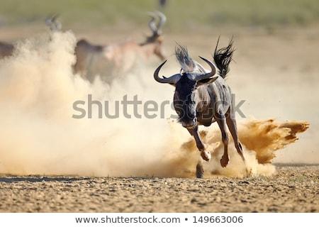Wildebeest on the run Stock photo © JFJacobsz