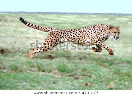 gepárd · guggol · hosszú · fű · sebesség · gyönyörű - stock fotó © fouroaks