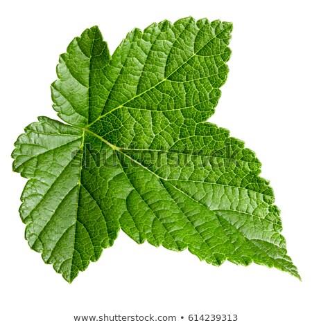 siyah · frenk · üzümü · yaprak · yalıtılmış · beyaz - stok fotoğraf © givaga