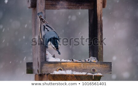 Nuthatch on feeder with vibrant colours Stock photo © rekemp