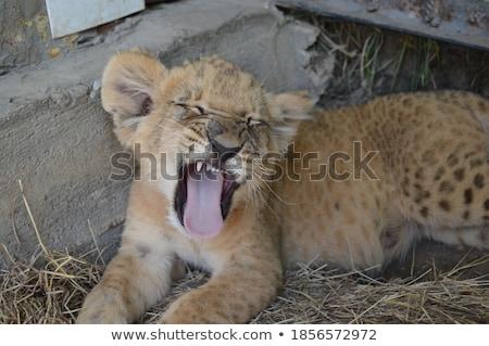 Сток-фото: лев · трава · саванна · глазах · кошки