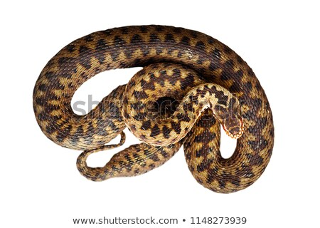 isolated beautiful female common adder stock photo © taviphoto