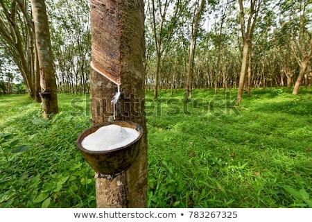 Borracha árvore plantação dinâmico ver inverno Foto stock © smithore