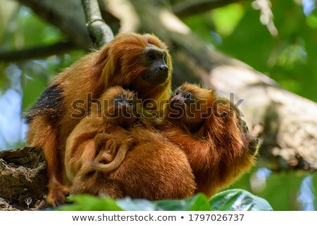 Wild monkey face wildlife ecotourism animal Stock photo © cienpies