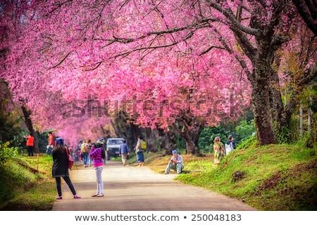 Sakura flowers blooming blossom in Chiang Mai, Thailand Stock photo © teerawit