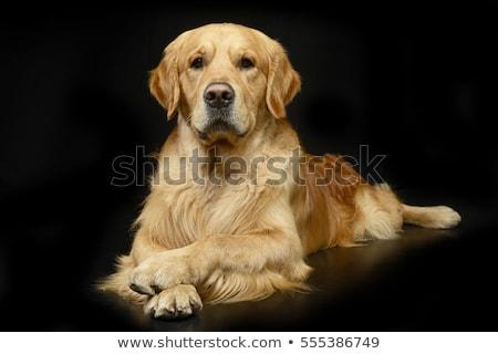 Stock photo: Golden retriever portrait in a dark studio