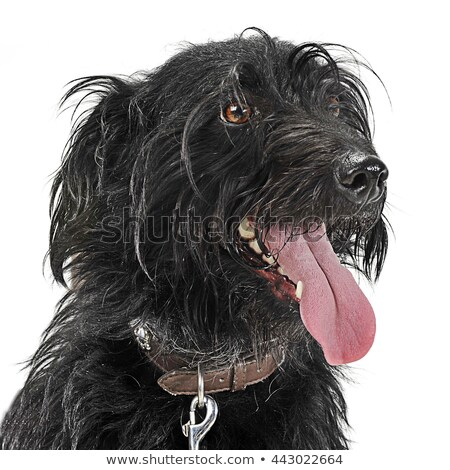 mixed breed black wired hair dog portre in white studio stock photo © vauvau