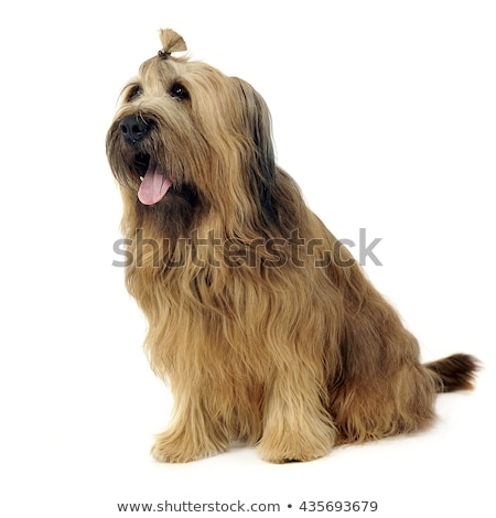Cute Berger de Brie posing in the white studio stock photo © vauvau