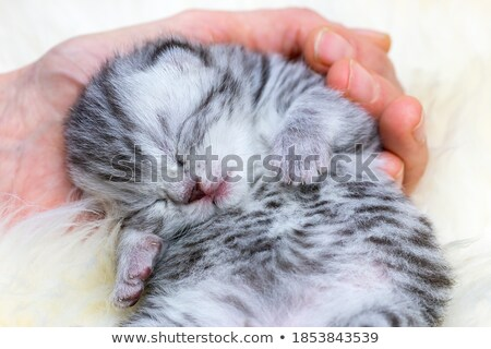 Stockfoto: Newborn Cat Lying Sleepy In Hand On Fur