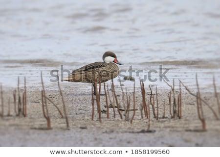 pato · praia · branco · Ilhas · Virgens · oceano · vermelho - foto stock © backyardproductions