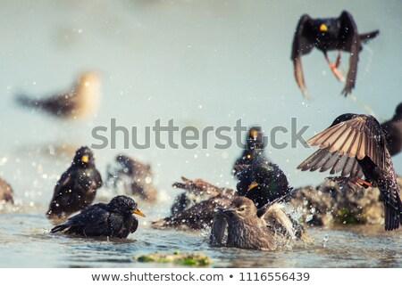 Common starling bathing water stock photo © mariephoto