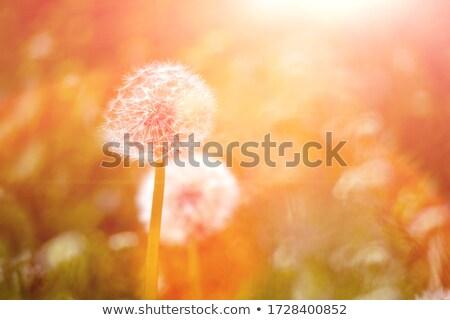 Dandelion · vintage · kolory · charakter · krajobraz - zdjęcia stock © latent