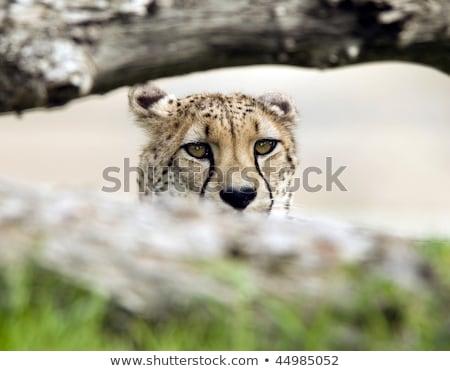 Cheetah wild kat tanden mooie jonge Stockfoto © fouroaks