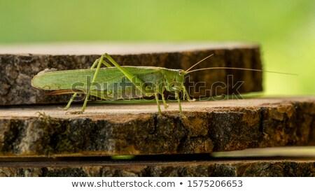 Kriket ahşap yalıtılmış ahşap yaz Stok fotoğraf © Klinker