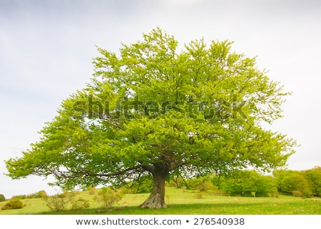 spring landscape with beech trees on the hill stock photo © kotenko