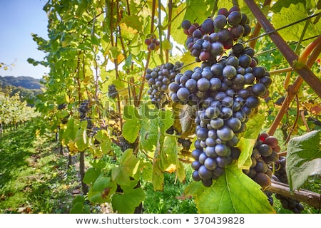 Grape vines at harvest time Stock photo © tilo