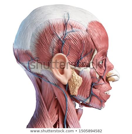 Stock photo: Artery And Vein