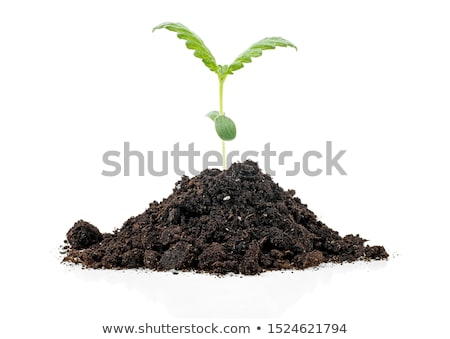 Stock photo: Cannabis plant in soil on white background