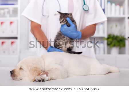 Cute labrador puppy asleep on the table of the veterinary doctor Stock photo © ilona75