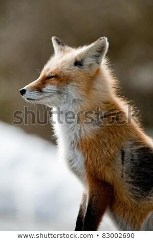 Inverno raposa imagem arte seis desenho Foto stock © clairev