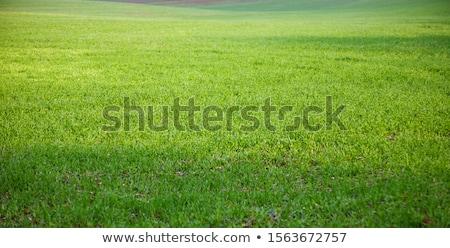 зеленая · трава · баннер · весны · трава · пшеницы · белый - Сток-фото © neirfy
