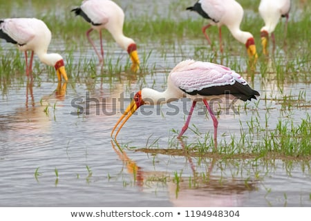 The Yellow-billed Stork, Mycteria ibis, is a large wading bird i Stock photo © galitskaya