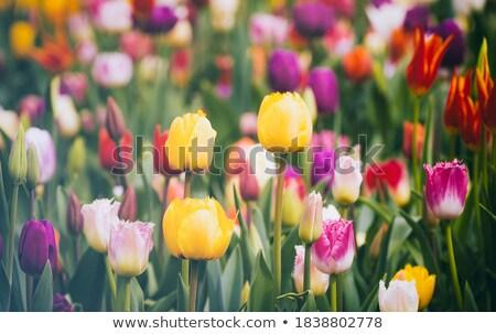 Lila tulipánok zöld park virágágy virágok Stock fotó © vapi