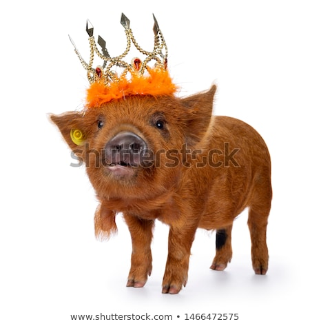 Kunekune piglet on white background Stock photo © CatchyImages