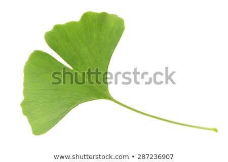 Background with Ginkgo biloba leaves Stock photo © odina222