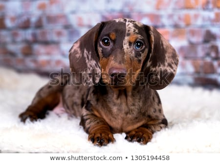 Portrait of an adorable short haired Dachshund Stock photo © vauvau