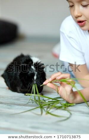 Little girl holding and feeding black guinea pig, domestic animal. Stock photo © Illia